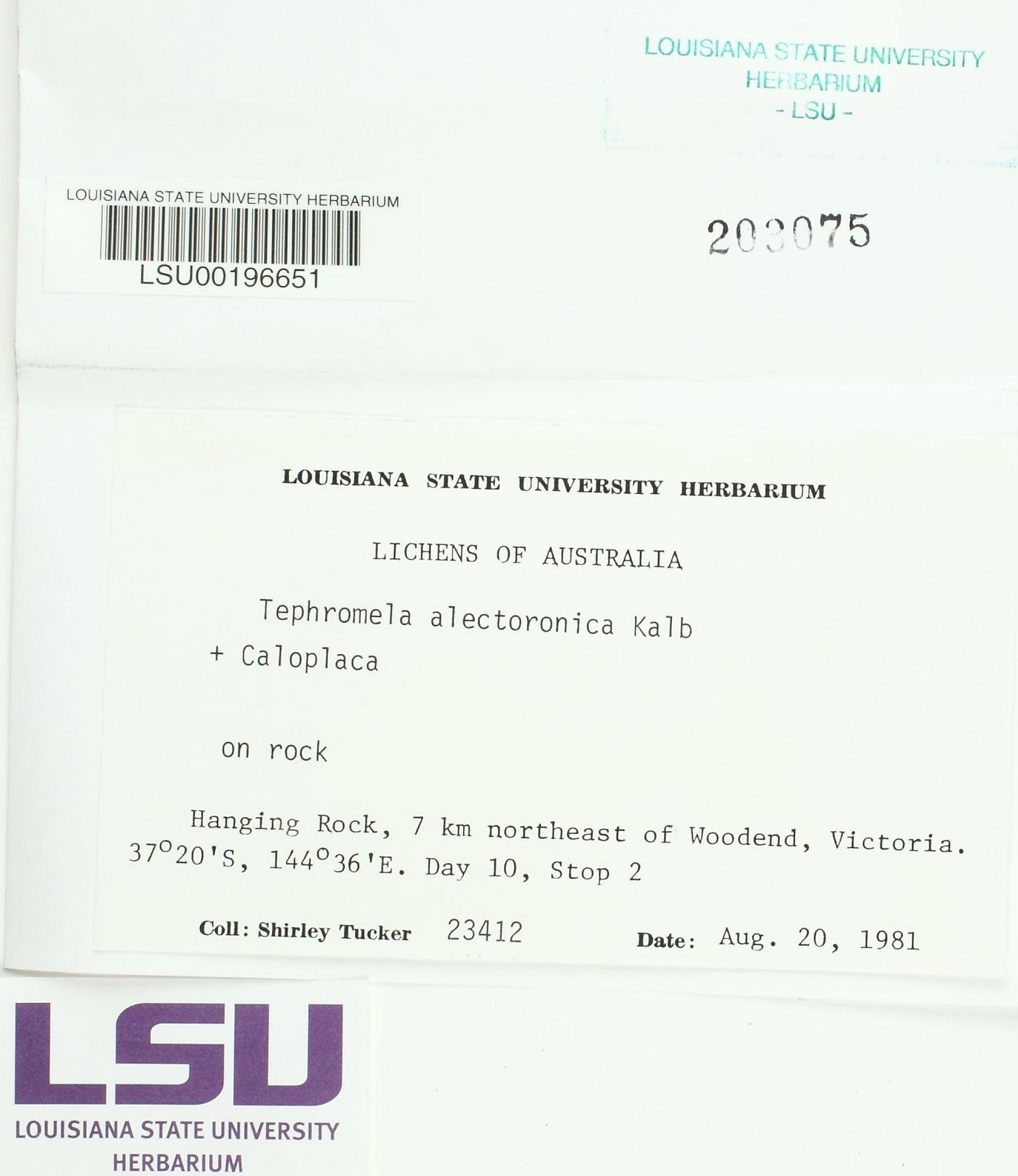 Tephromela alectoronica image