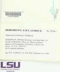 Image of Tephromela arafurensis