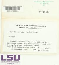 Trapelia glebulosa image