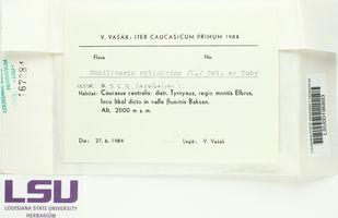 Umbilicaria cylindrica image