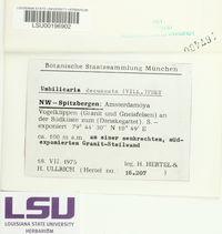 Umbilicaria decussata image