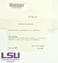 Umbilicaria polyphylla image