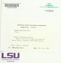 Usnea angulata image