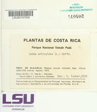 Usnea articulata image