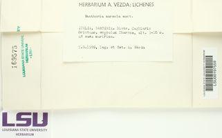 Xanthoria aureola image