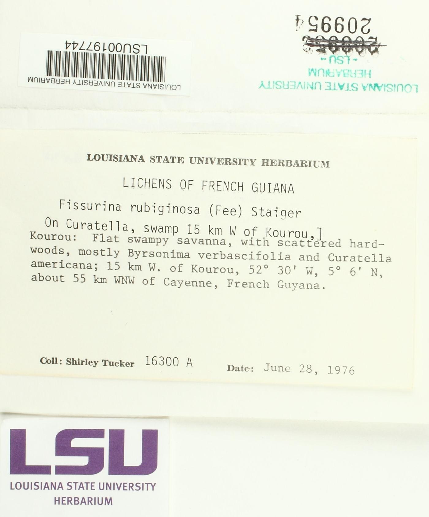 Fissurina rubiginosa image
