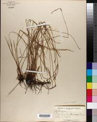 Kyllinga brevifolia image
