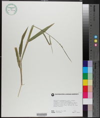 Urochloa plantaginea image