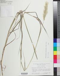 Bothriochloa exaristata image