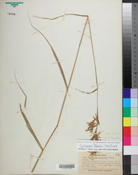 Cymbopogon flexuosus image