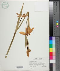 Iris fulva image