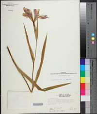 Iris hexagona image