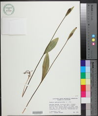 Pogonia ophioglossoides image