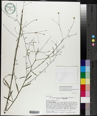 Boltonia diffusa var. diffusa image