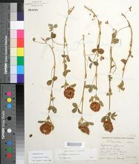 Trifolium reflexum image