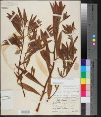 Ludwigia grandiflora image