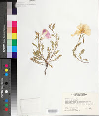 Oenothera speciosa image