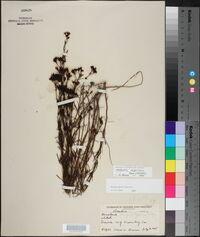 Stenaria nigricans image