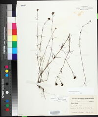 Stenaria nigricans var. nigricans image