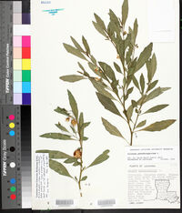 Solanum pseudocapsicum image