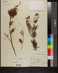 Tamarix canariensis image