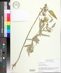 Croton lindheimeri image