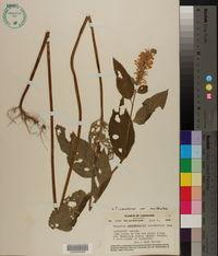 Teucrium canadense var. occidentale image