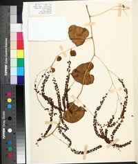 Anredera cordifolia image