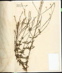 Verbena litoralis image