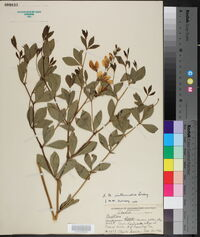 Image of Baptisia x intermedia