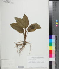Image of Aglaonema crispum