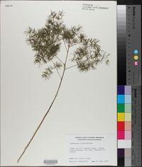 Asparagus retrofractus image