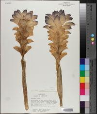 Image of Curcuma inodora