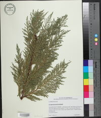 Image of X cupressocyparis leylandii