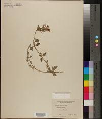 Glandularia × hybrida image