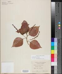 Acalypha amentacea image
