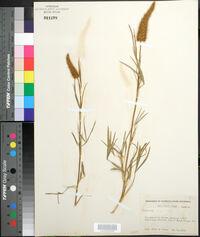 Image of Trifolium angulatum