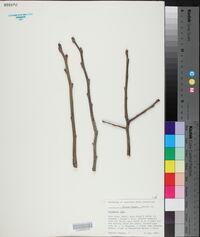 Diospyros kaki image