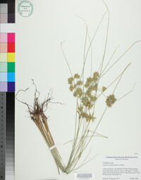 Cyperus oxylepis image