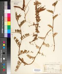 Image of Vicia articulata