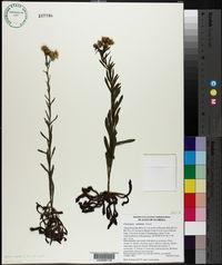 Chrysopsis subulata image