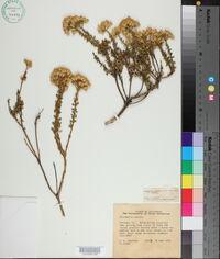 Ericameria cuneata image