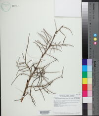 Sabal palmetto image