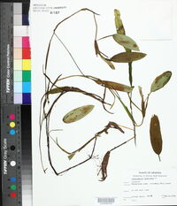 Potamogeton gramineus image
