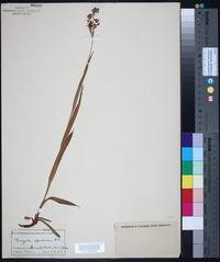 Luzula alpinopilosa image