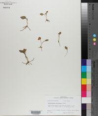 Ophioglossum petiolatum image