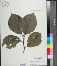 Magnolia campbellii image