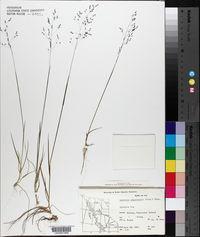 Agrostis aequivalvis image