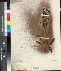 Delphinium x occidentale image