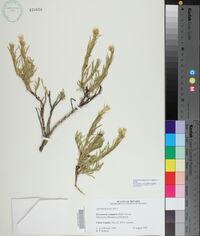 Image of Ericameria compacta